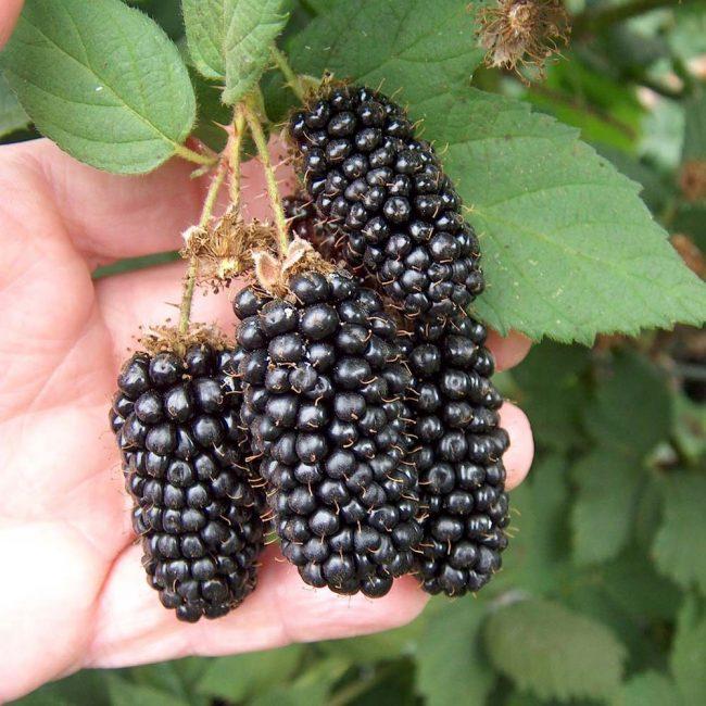 Сортовое растение легко опознать по отличному виду ягод