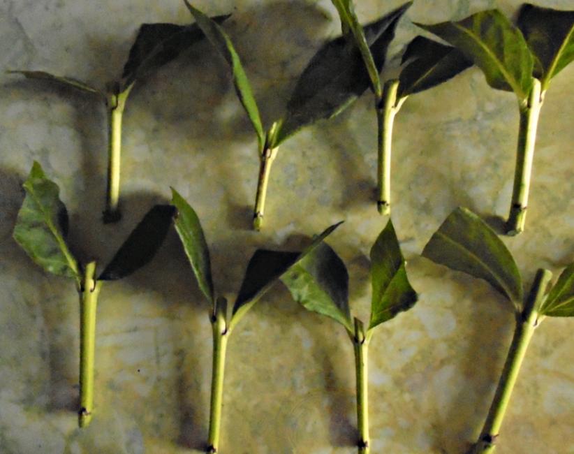 Стеблевые осенние черенки