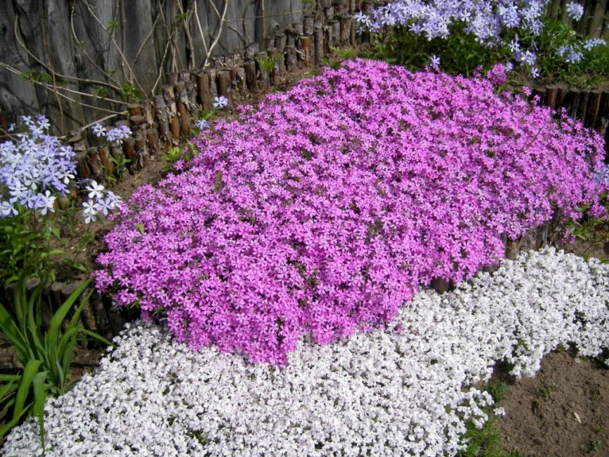 Стелющиеся разновидности растения