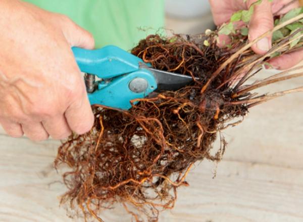 Сырье для приготовления лекарства из магонии – корневая часть растения