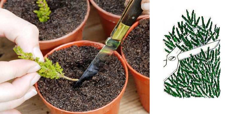 Укоренение зеленых черенков вереска