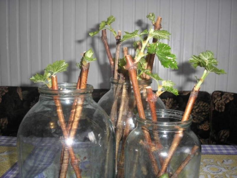 Укоренение черенков в ёмкостях с водой