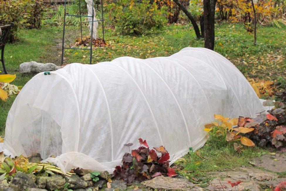 Укрытие растения на зиму