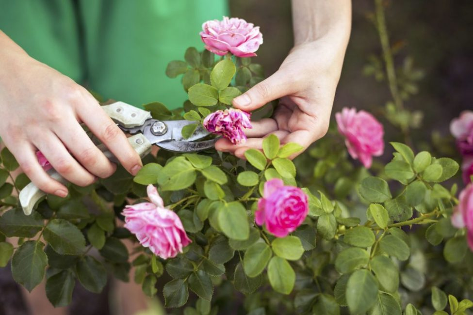 Обрезка, как неотъемлимая часть ухода а розой