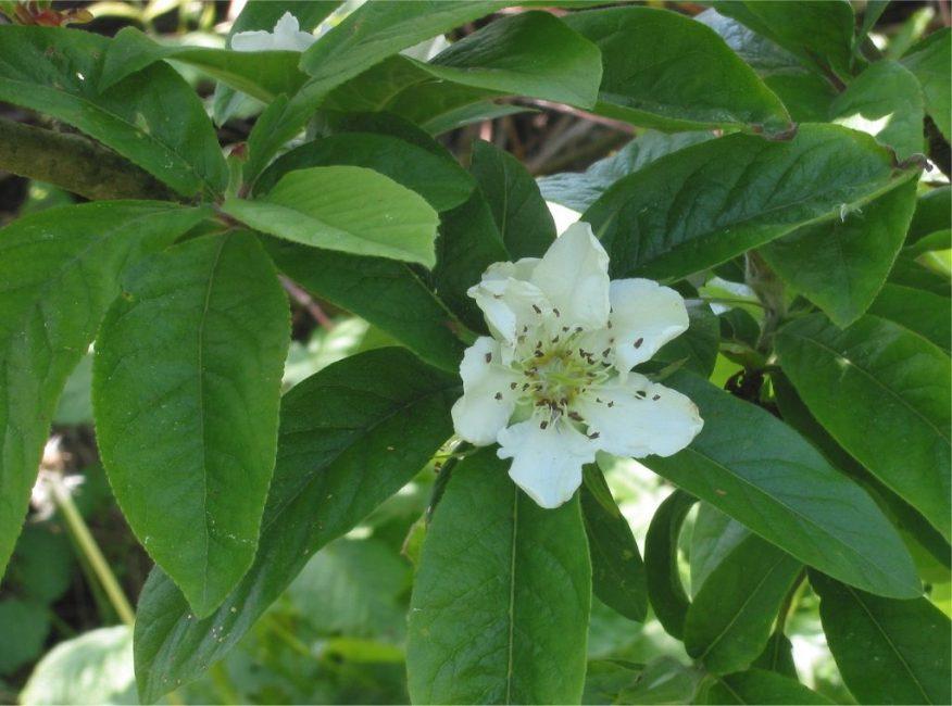Цветение чашкового дерева приходится на позднюю осень и зиму, отсюда и название – зимнецвет