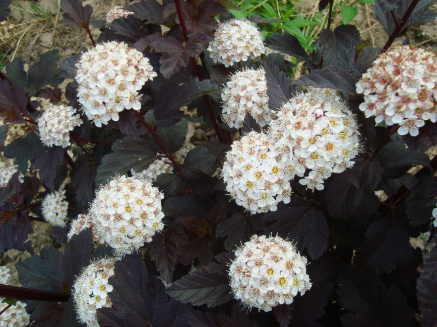 Цветет пузыреплодник