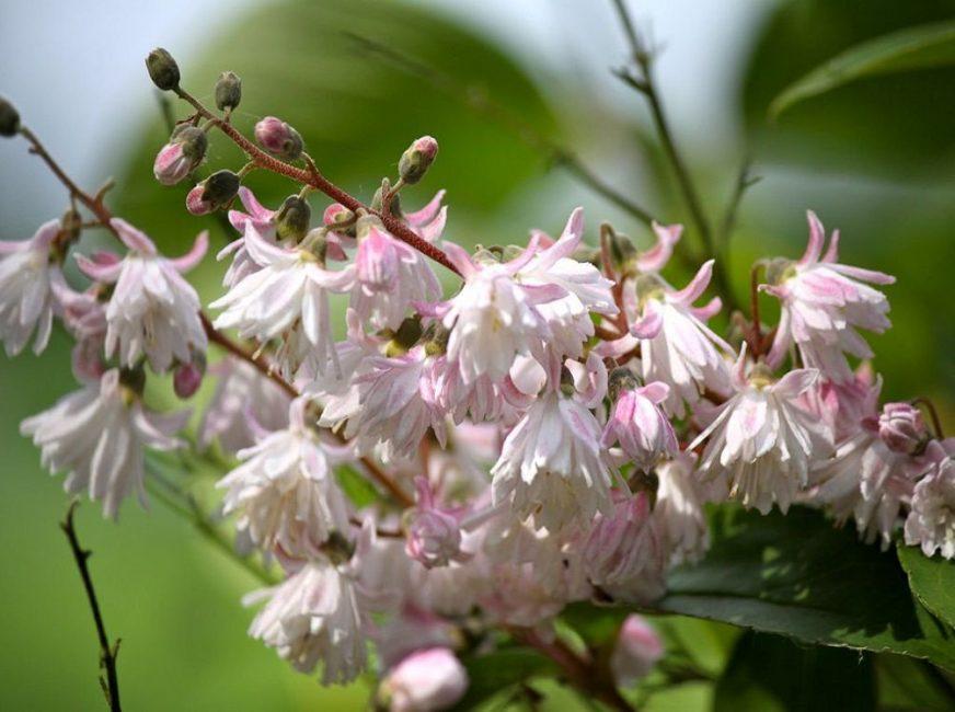 Цветки многих разновидностей растения имеют колокольчатую форму