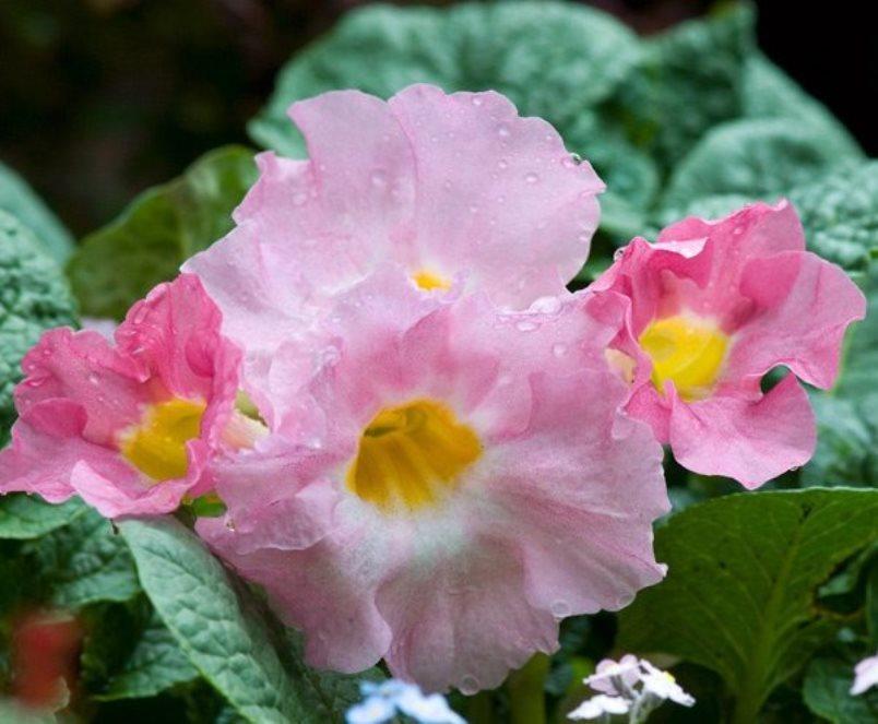 Цветок инкарвиллеи плотной