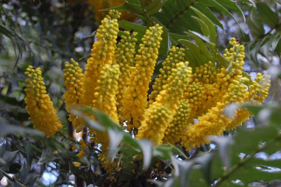 Цветы магонии ламариелистной