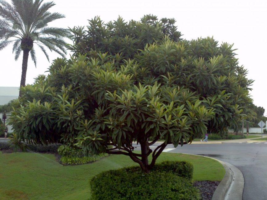 Чашковое дерево – дерево, типичное для тропических широт