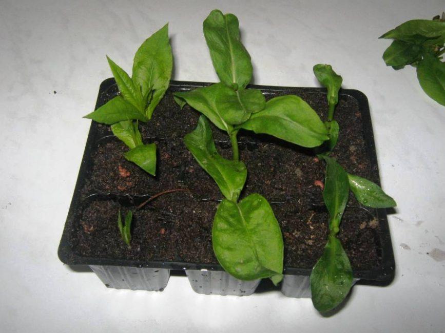 Черенки флоксов, укоренённые в грунте при домашнем выращивании