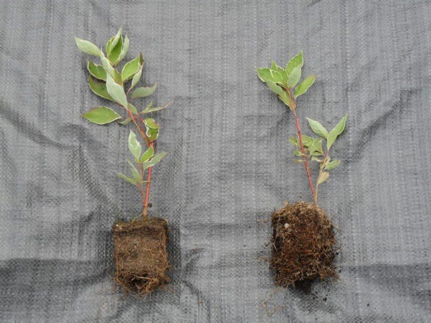 Выращивание дерена из черенков