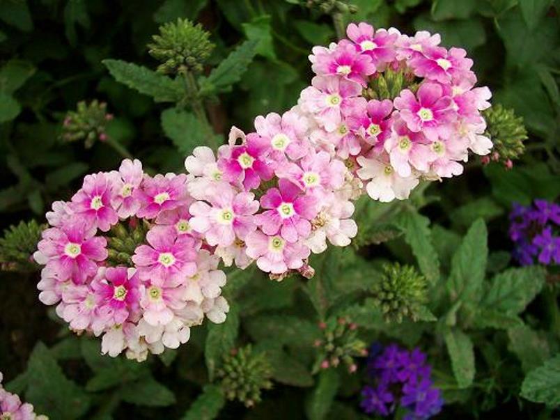 Шарообразные соцветия гибридного вида