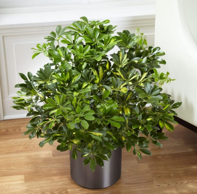 Шеффлера достаточно неприхотливое растение
