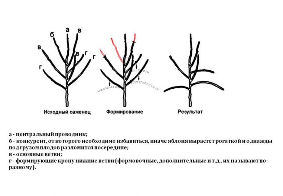 Этот вариант обрезки подойдет не только для яблонь, но и для нашего дерева