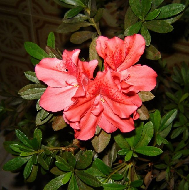 А вот азалия считается ядовитым растением, сок которой может вызвать сильную аллергию. Поэтому цветок не рекомендуется для выращивания в детской комнате