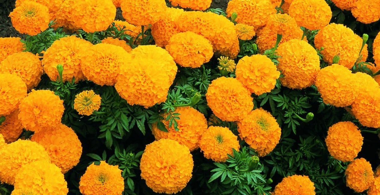 Бархатцы прямостоячие классической расцветки