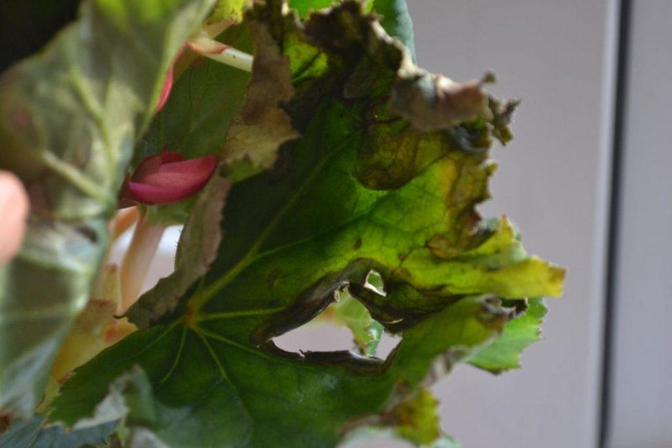 Бегония заболевание листьев