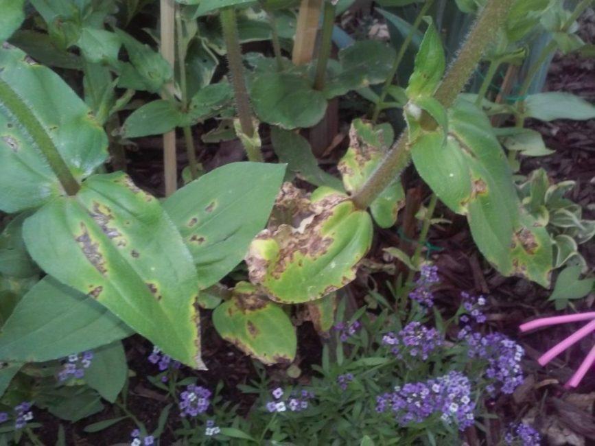 Листья циннии, пораженные болезнью