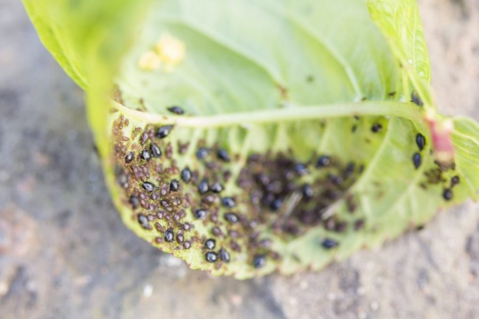 Неправильный уход или его отсутствие чреваты болезнями и атаками вредителей