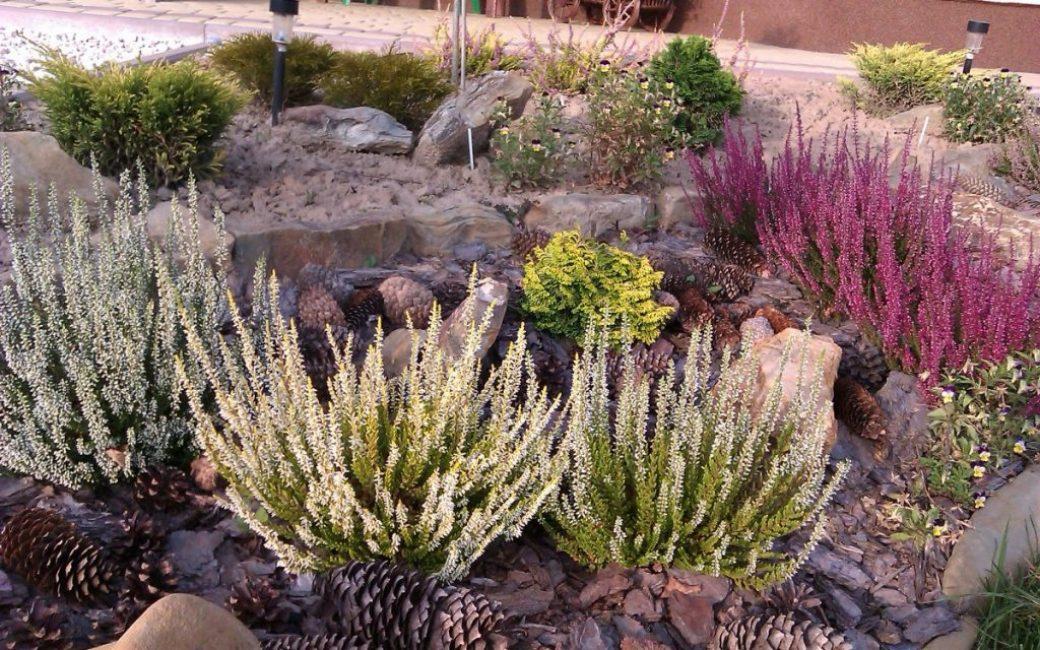 Верески в каменистом саду