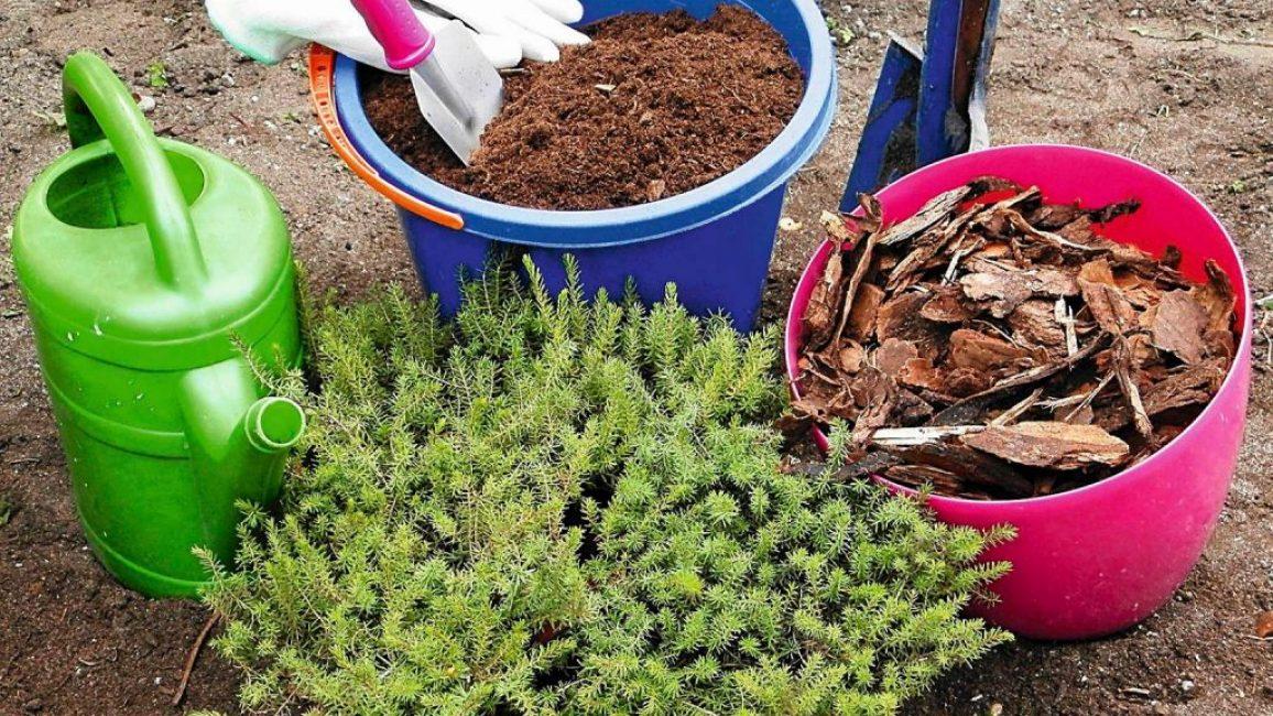 Кусты высаживают весной или в конце сентября