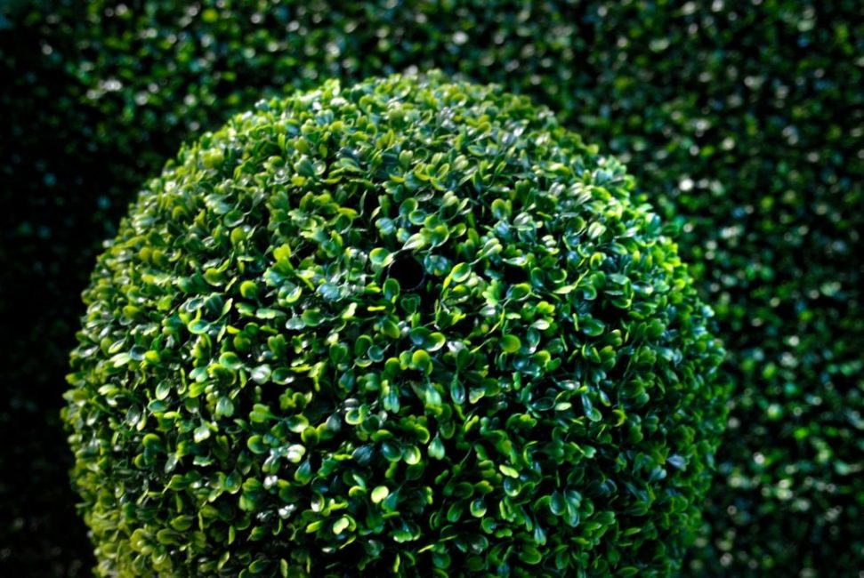 Вечнозелёный букс чаще других сортов используется в ландшафтном дизайне