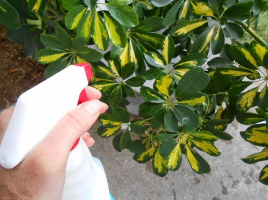 В летнюю пору листья шеффлеры нужно опрыскивать