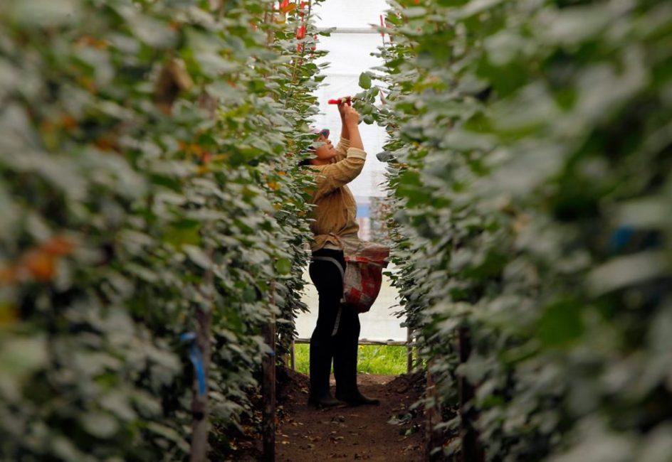 Некоторые сорта роз намного выше человеческого роста