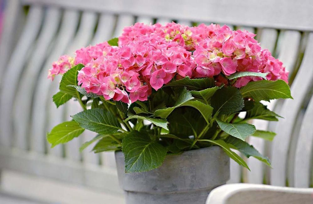 Считается, что гортензия с экзотической окраской цветков может вызывать аллергию. Однако, прежде чем выбрасывать этот цветок, нужно проверить, на самом ли деле это так. Ведь не у всех людей растение может вызвать подобную реакцию