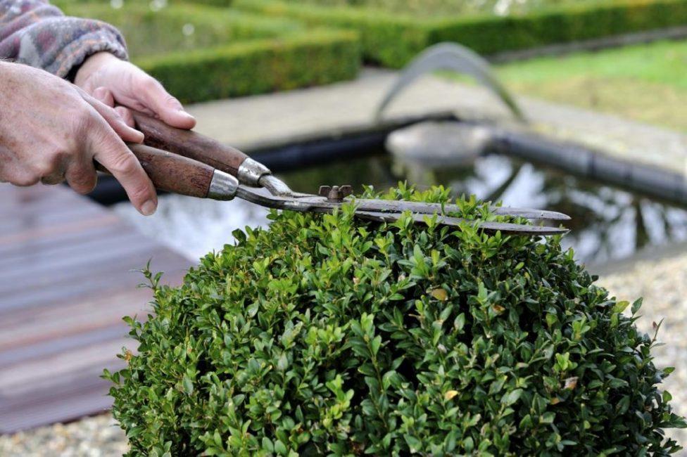 Обрезка букса не только придаст растению форму, но и сделает его гуще