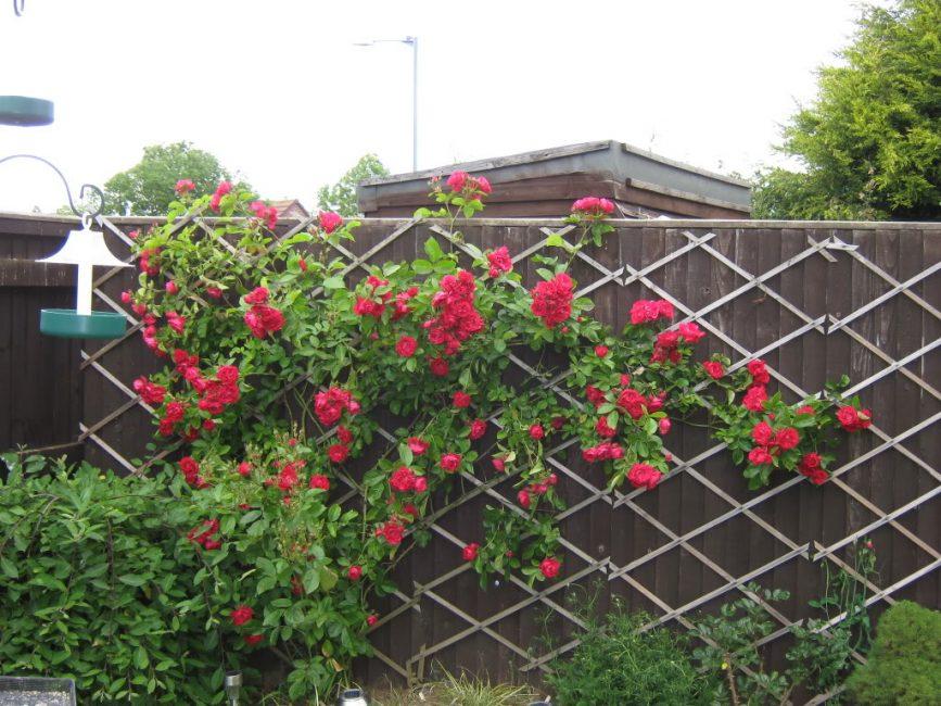 Опора из тонких деревянных реек для плетистых роз прикреплена к забору