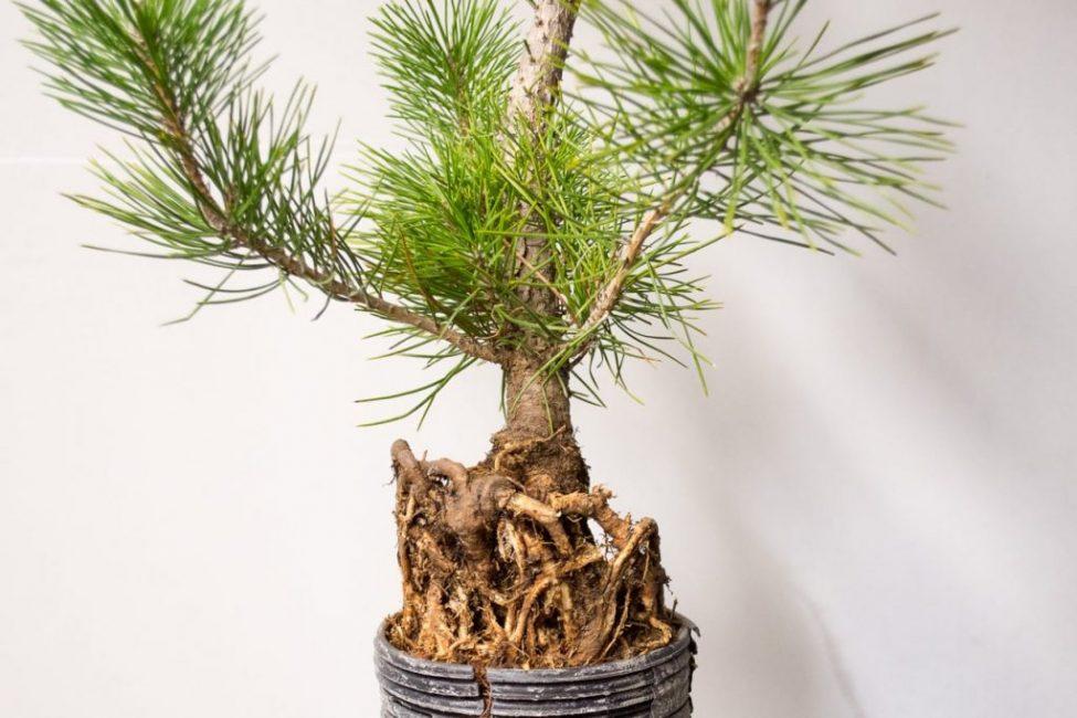 Корни хвойных деревьев обладают повышенными всасывающими свойствами