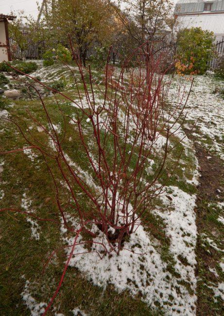 Не каждый сорт чубушника может перенести суровую зиму