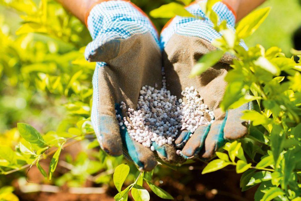 Своевременное и правильное внесение подкормки - залог хорошего урожая
