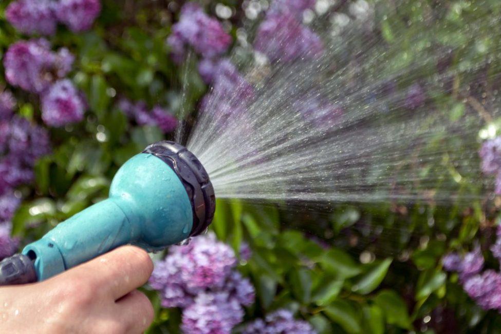 Во время цветения сирени требуется много воды