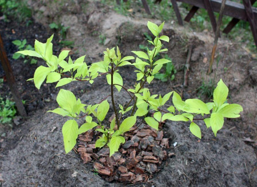 Высаживать лучше ранней весной или поздней осенью