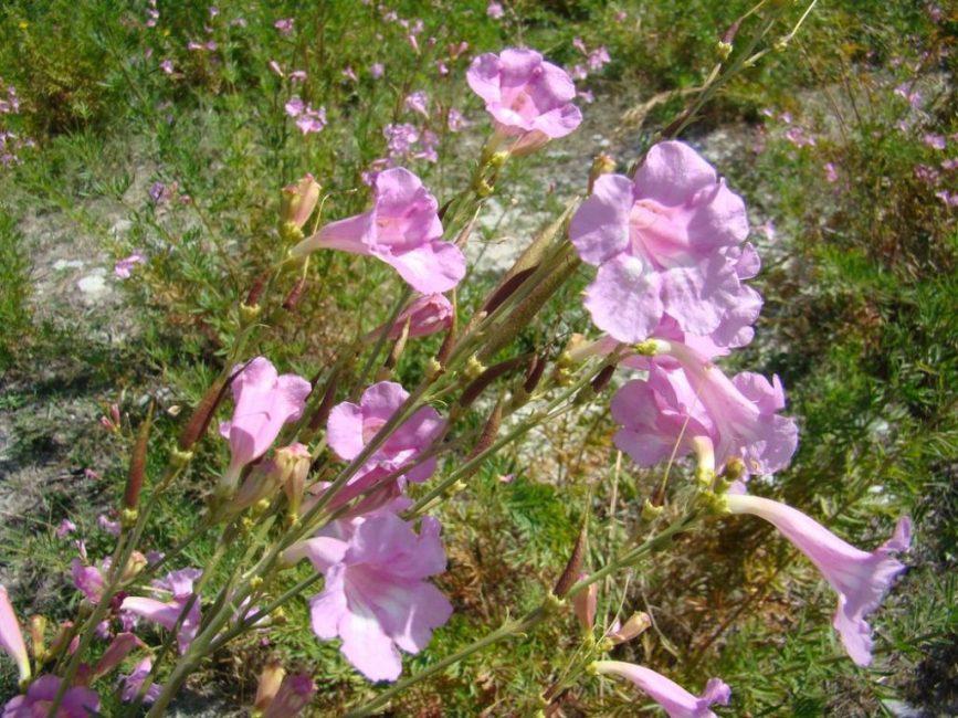 Инкарвиллея Ольги или же розовая