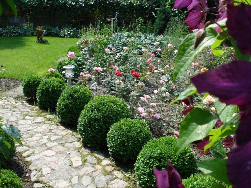 Живая изгородь из букса обычно состоит из 4–5 растений