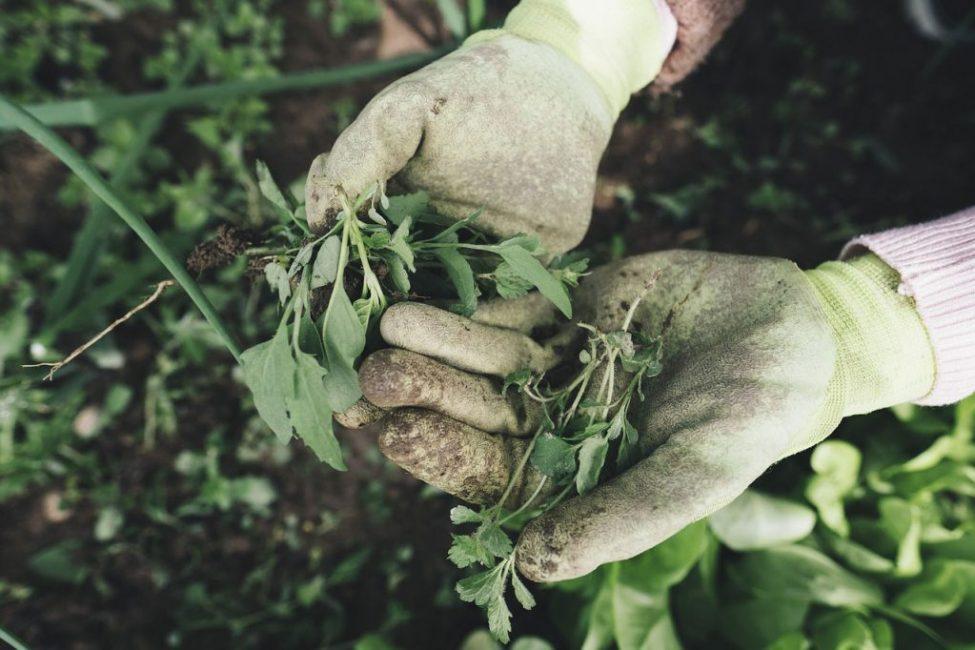 Избавление от сорняков - часть ухода за растением
