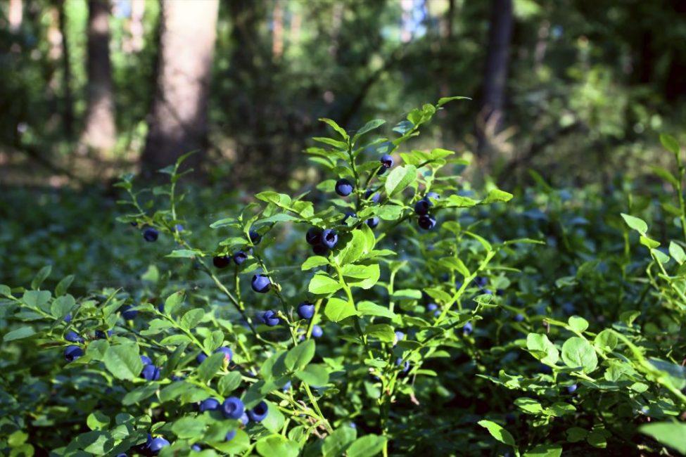 Куст черники в хвойном лесу
