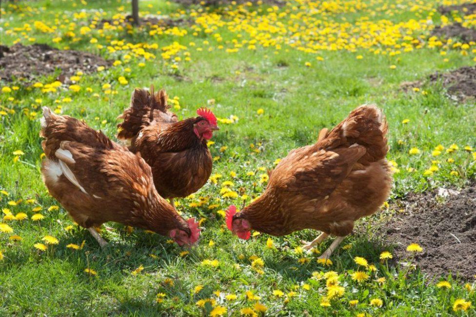 Куриный навоз в несколько раз питательнее коровьего и конского