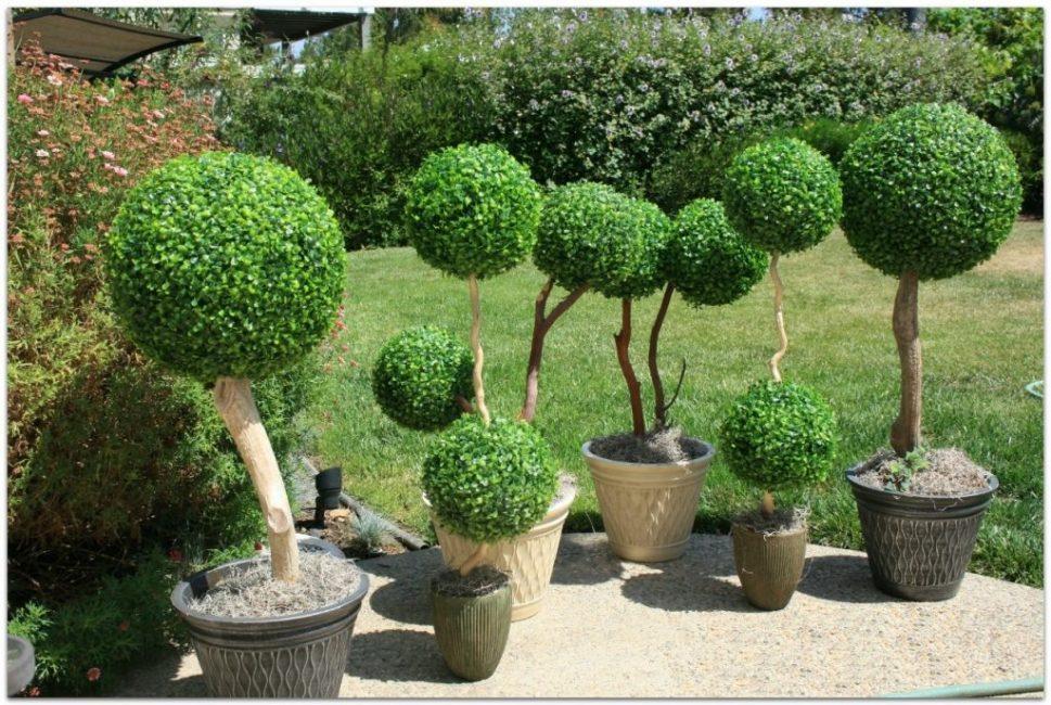 Штамбовое дерево букса выглядит очень необычно