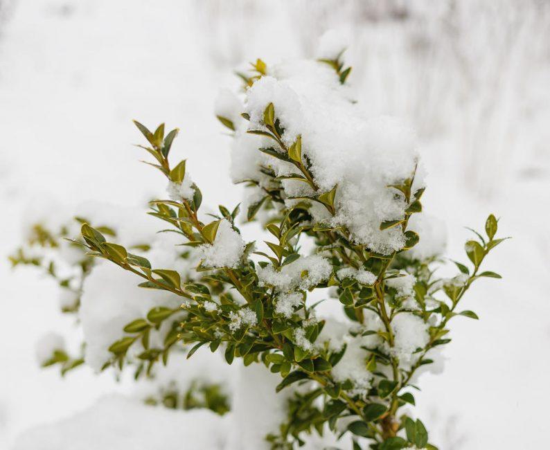 На зиму кустарник лучше связывать и укрывать