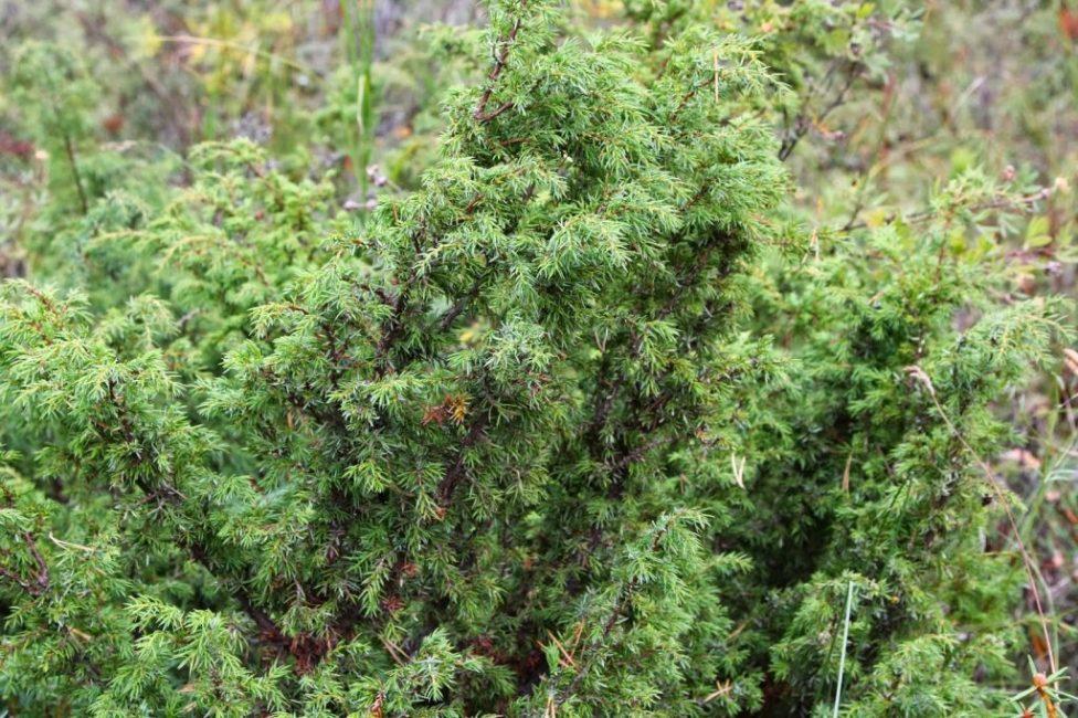 Обыкновенный можжевельник в естественной среде обитания