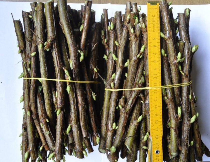 Заготовки черенков черной смородины