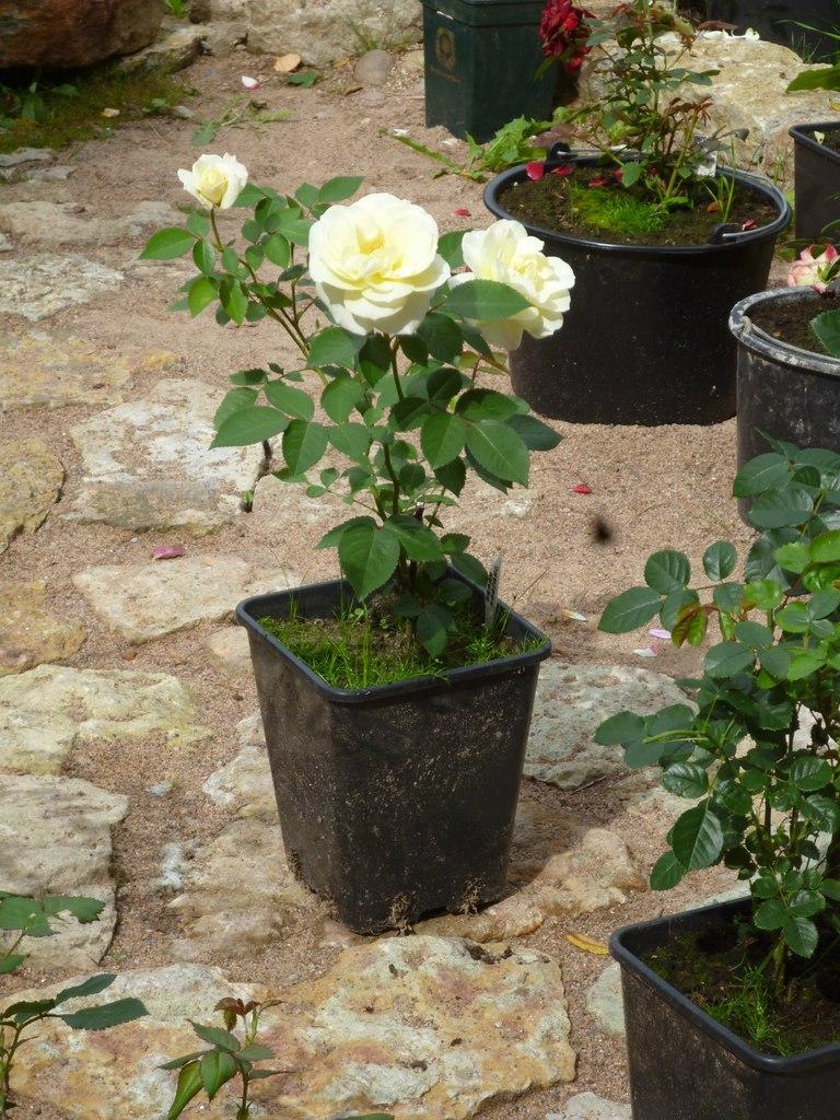 для роза картинки саженцев нет