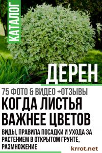 Дерен: описание, виды, правила посадки и ухода за растением в открытом грунте, размножение (75+ Фото & Видео) +Отзывы