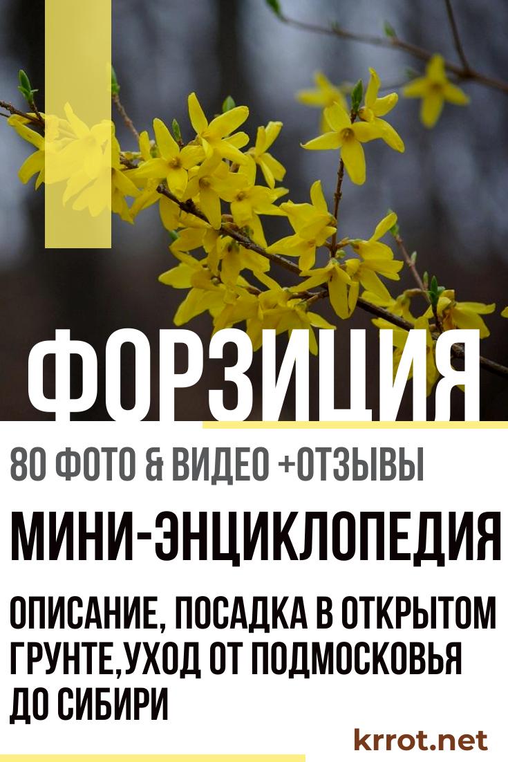 Форзиция: посадка и уход в открытом грунте, виды и сорта с фото