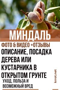 Миндаль: описание, посадка дерева или кустарника в открытом грунте, уход за ним, польза и возможный вред (Фото & Видео) +Отзывы